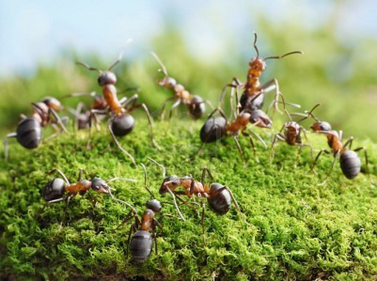 how to kill black ants in lawn