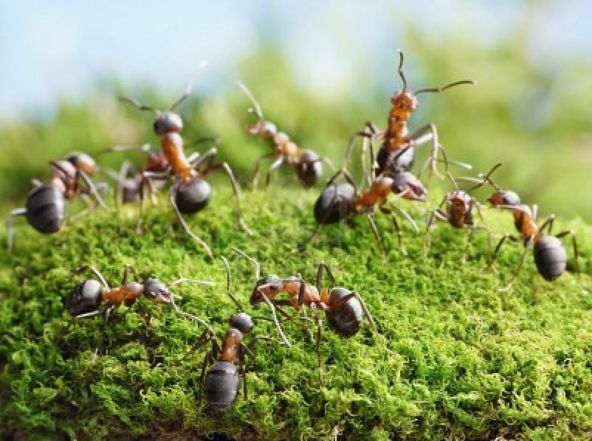 Lawn Problems 11 - Ants in Your Lawn?