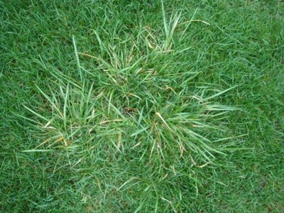 Lawn Turf Problems - Couch Grass