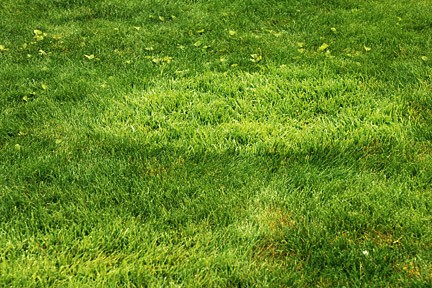 Weeds, Coarse Grasses & Clover - Lawn Problems (5)