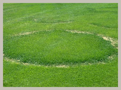 fairy-ring-type-a
