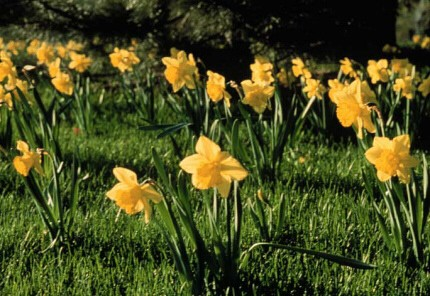 Naturalising bulbs in lawns