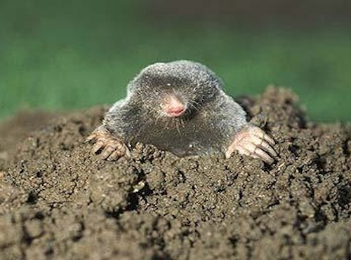moles-in-lawns